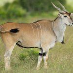Антилопа Канна - животные Африки